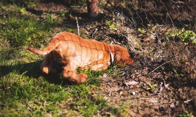 Reasons Why Dogs Dig & How To Train Them To Stop with an electronic shock collar