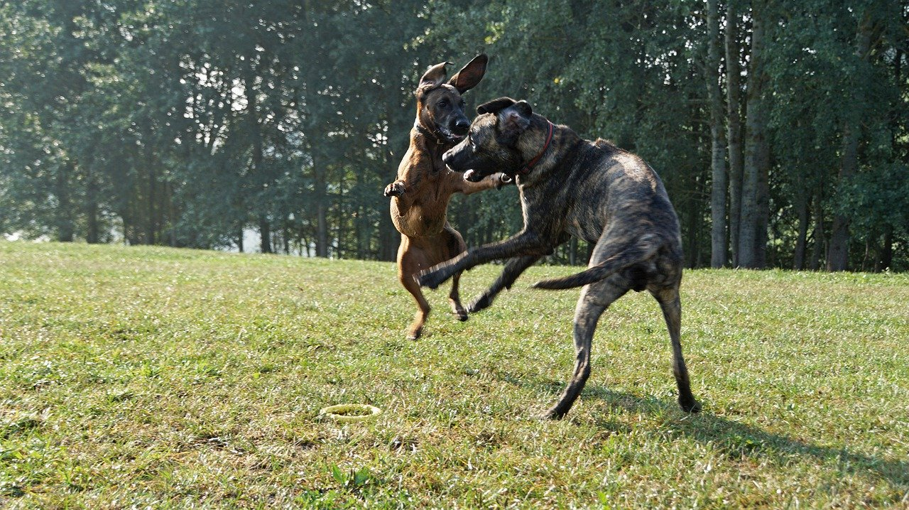 Two dog jumping at each other