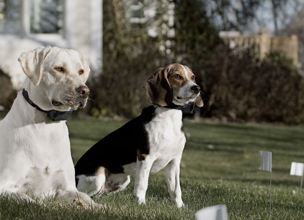 Two dogs with shock collars