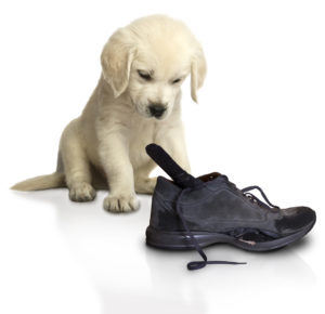 A puppy looking at a shoe